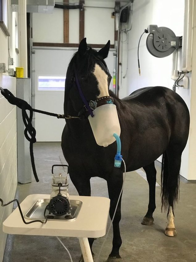 beautiful black horse nebulizing West Dakota Veterinary Clinic
